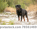 rottweiler in a river bed 76561469