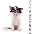 Chihuahua holding a comb in his mouth 76564775