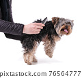 Young Yorkshire terrier being brushed 76564777
