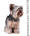 Young Yorkshire terrier isolated 76564778