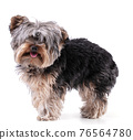 Young Yorkshire terrier isolated 76564780