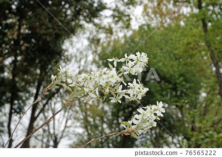 The flower of the bamboo shoot 76565222