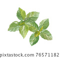 basil, herbal, foliage 76571182