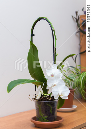 White flower with large green leaves in a transparent pot with a long handle. 76571341