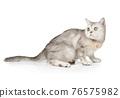 Watchful Scottish cat sitting on a white background 76575982