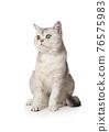 Purebred Scottish cat sitting on a white background 76575983
