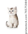 Lovely Scottish kitten with blue eyes sitting on white 76575984