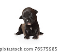 Small black ten days old purebred American Pit Bull Terrier puppy sitting over white 76575985