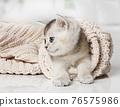 Funny Scottish kitten climbed into the sleeve of the jacket 76575986
