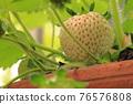 草莓 開花 花 76576808