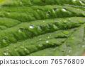 草莓 葉子 葉 76576809