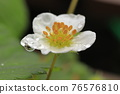 草莓 開花 花 76576810