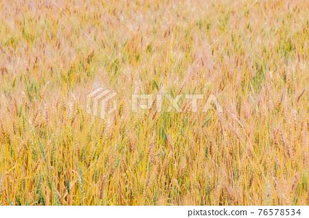 小麥 麥穗 小麥地 76578534