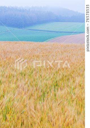 小麥 麥穗 小麥地 76578535