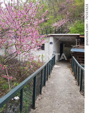 북한산.국립공원.봄꽃.나뭇잎.탐방로  76583828