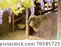 sheep, shepherd, wisteria 76585725