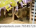 sheep, shepherd, wisteria 76585726