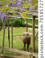sheep, wisteria, bloom 76585727