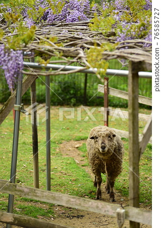 sheep, wisteria, bloom 76585727