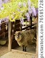 sheep, wisteria, bloom 76585728
