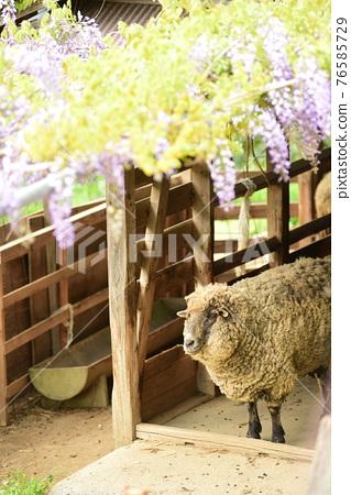 sheep, wisteria, bloom 76585729