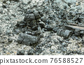 Remains of an extinguished fire with charred branches and ashes. Black pieces of burnt charcoal and gray ash on the ground. Carbonized wood and rests of a fire. Close-up photo. 76588527