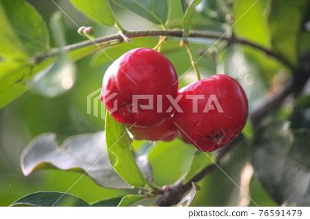 Fresh small red organic brazillian acerola cherry fruit (Malpighia Glabra) with green leaves. Fresh organic Acerola cherry on the tree, High vitamin C and antioxidant fruits. 76591479