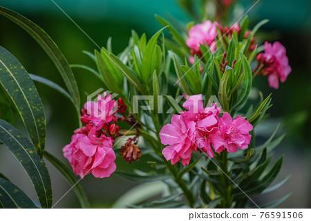 Blooming Pink Oleander flowers (Oleander Nerium)on a blurred background. 76591506