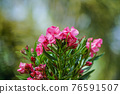 Blooming Pink Oleander flowers (Oleander Nerium)on a blurred background. 76591507