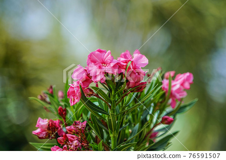 Blooming Pink Oleander flowers (Oleander Nerium)on a blurred background. 76591507