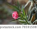 Blooming Pink Oleander flowers (Oleander Nerium)on a blurred background. 76591508