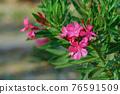 Blooming Pink Oleander flowers (Oleander Nerium)on a blurred background. 76591509