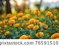 Beautiful marigold flowers in the garden. 76591510
