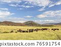 Open range cattle in Colorado 76591754