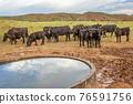 Open range cattle in Colorado 76591756