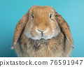Lop ear rabbit on turquoise background 76591947