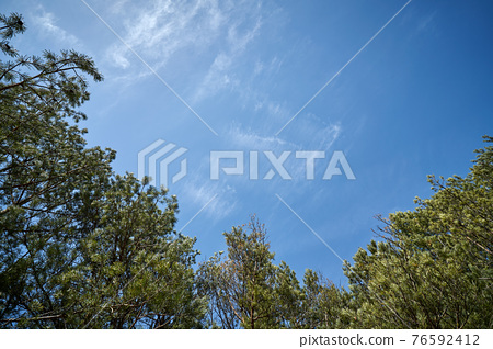 beautiful spring pine forest against the blue sky  76592412