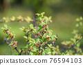 水果 櫻桃 食用櫻桃 76594103