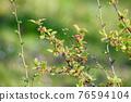 水果 櫻桃 食用櫻桃 76594104