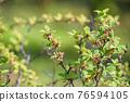 水果 櫻桃 食用櫻桃 76594105