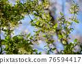銀果胡頹子 野生橄欖 花朵 76594417