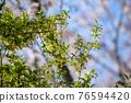 銀果胡頹子 野生橄欖 花朵 76594420