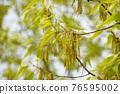 麻櫟 花朵 花 76595002