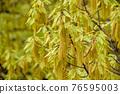 麻櫟 花朵 花 76595003