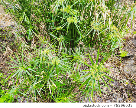 papyrus plant close up 76596035