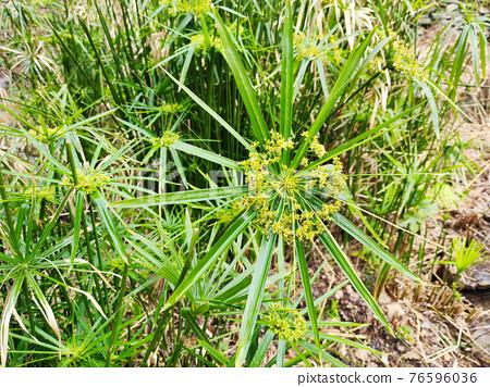 papyrus plant close up 76596036