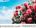Pink Camellia Tree with Blooming Flowers 76600420