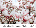 Pink Magnolia Tree with Blooming Flowers during Springtime 76600423