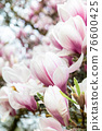 Pink Magnolia Tree with Blooming Flowers during Springtime 76600425