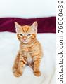 Cute ginger kitten sits of sofa 76600439